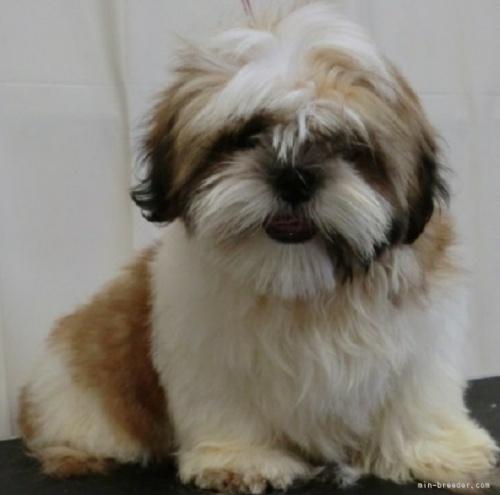 シーズーの子犬(ID:1245211074)の5枚目の写真/更新日:2021-10-11