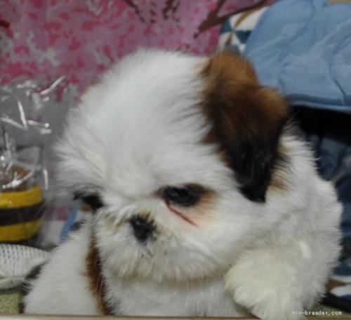シーズーの子犬(ID:1245211076)の2枚目の写真/更新日:2017-01-27