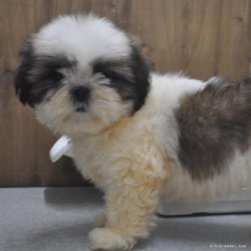 シーズーの子犬(ID:1245211077)の1枚目の写真/更新日:2017-04-19