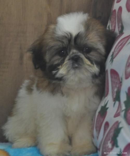 シーズーの子犬(ID:1245211078)の4枚目の写真/更新日:2017-01-27