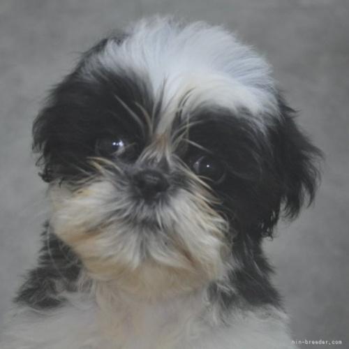シーズーの子犬(ID:1245211079)の1枚目の写真/更新日:2017-02-09