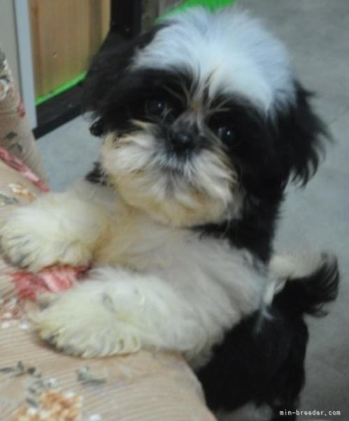 シーズーの子犬(ID:1245211079)の5枚目の写真/更新日:2017-02-09