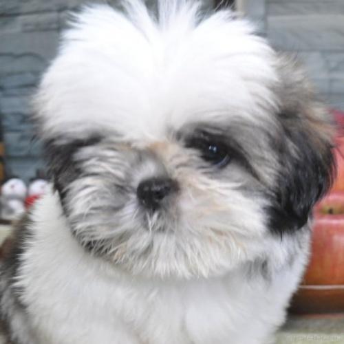 シーズーの子犬(ID:1245211080)の1枚目の写真/更新日:2019-10-25