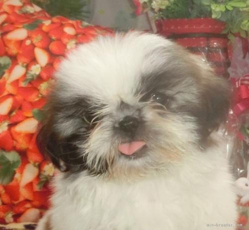 シーズーの子犬(ID:1245211084)の1枚目の写真/更新日:2017-02-03