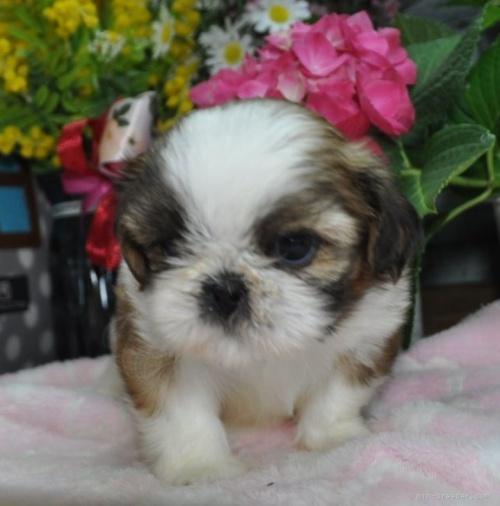シーズーの子犬(ID:1245211085)の3枚目の写真/更新日:2018-07-23
