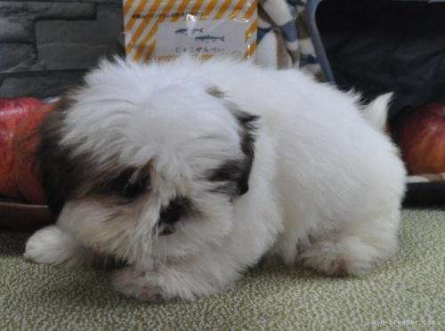シーズーの子犬(ID:1245211086)の4枚目の写真/更新日:2018-07-23