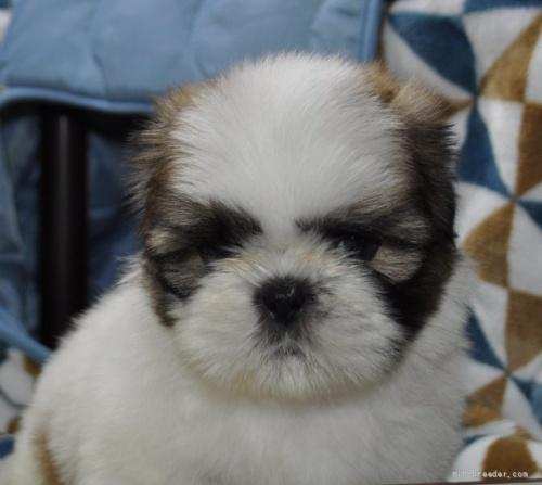 シーズーの子犬(ID:1245211087)の1枚目の写真/更新日:2018-07-23