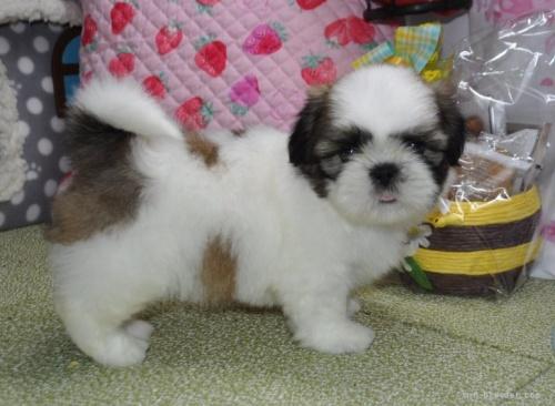 シーズーの子犬(ID:1245211087)の2枚目の写真/更新日:2018-07-23