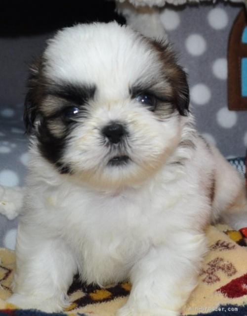 シーズーの子犬(ID:1245211091)の1枚目の写真/更新日:2017-05-15