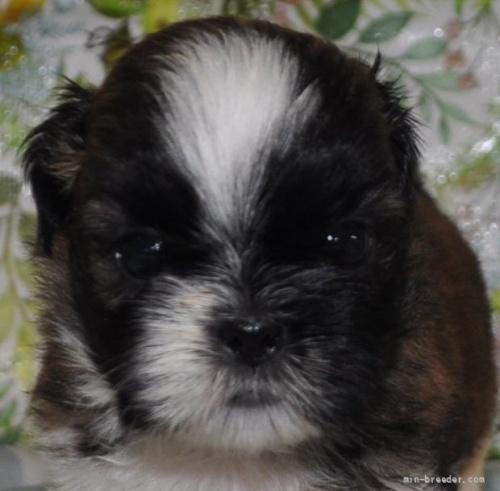 シーズーの子犬(ID:1245211099)の1枚目の写真/更新日:2021-08-03