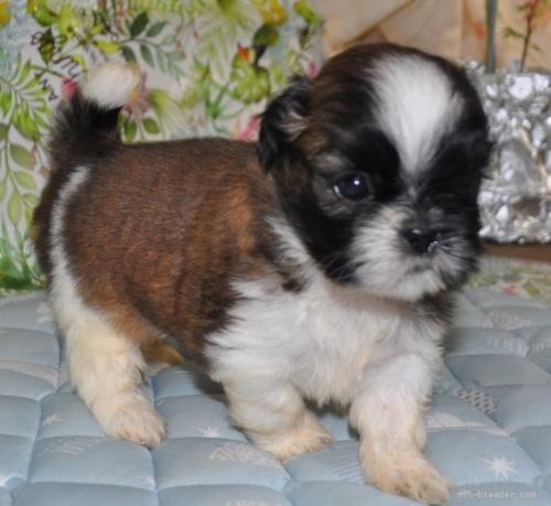 シーズーの子犬(ID:1245211099)の2枚目の写真/更新日:2021-08-03