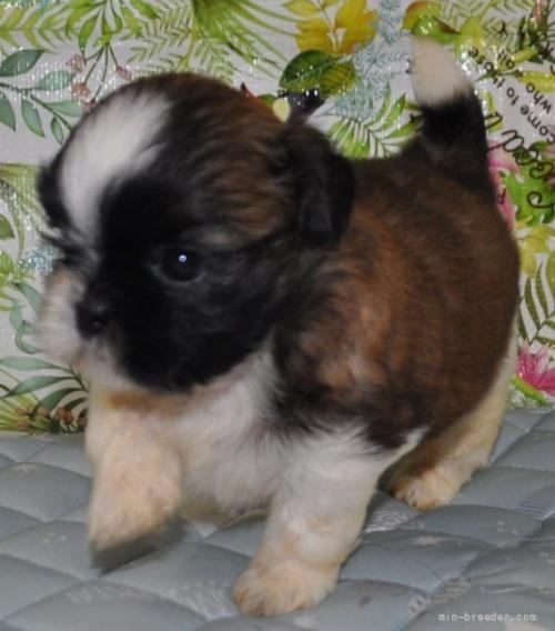 シーズーの子犬(ID:1245211099)の3枚目の写真/更新日:2021-08-03