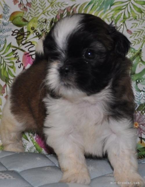 シーズーの子犬(ID:1245211099)の4枚目の写真/更新日:2021-08-03