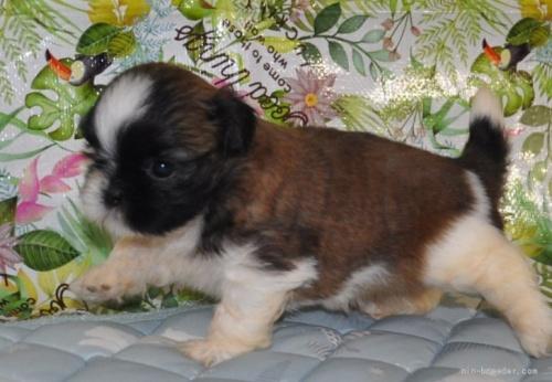シーズーの子犬(ID:1245211099)の5枚目の写真/更新日:2021-08-03