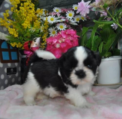 シーズーの子犬(ID:1245211103)の2枚目の写真/更新日:2020-06-30