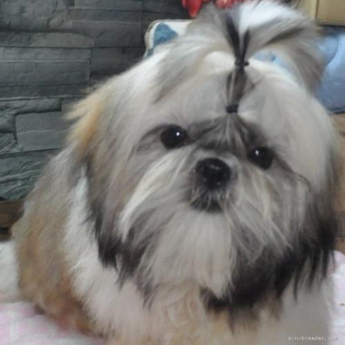シーズーの子犬(ID:1245211115)の1枚目の写真/更新日:2021-04-03