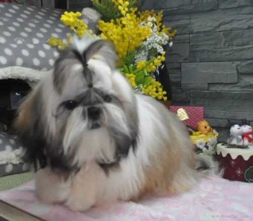 シーズーの子犬(ID:1245211115)の2枚目の写真/更新日:2021-04-03