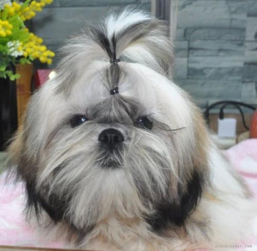 シーズーの子犬(ID:1245211115)の5枚目の写真/更新日:2021-04-03