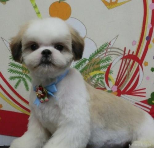 シーズーの子犬(ID:1245211118)の2枚目の写真/更新日:2021-04-05