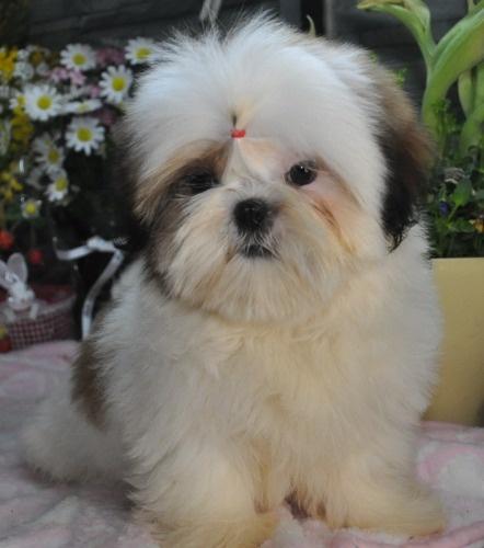 シーズーの子犬(ID:1245211123)の3枚目の写真/更新日:2021-08-03