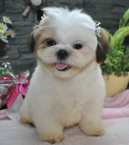 シーズーの子犬(ID:1245211123)の5枚目の写真/更新日:2021-08-03
