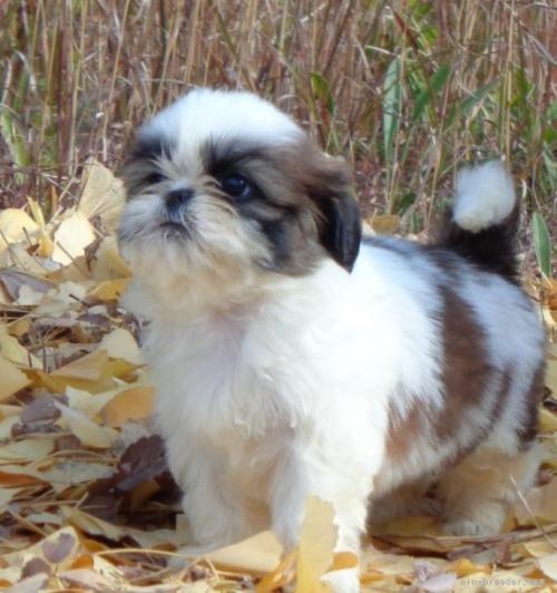 シーズーの子犬(ID:1245211128)の4枚目の写真/更新日:2021-07-25