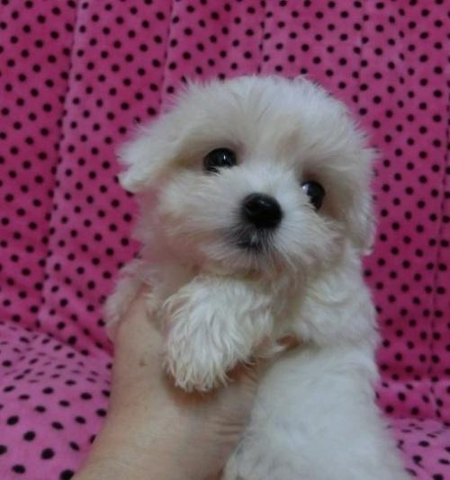 マルチーズの子犬(ID:1245311002)の2枚目の写真/更新日:2019-03-14