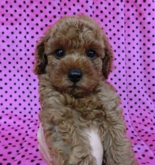 トイプードルの子犬(ID:1245311040)の2枚目の写真/更新日:2018-07-09