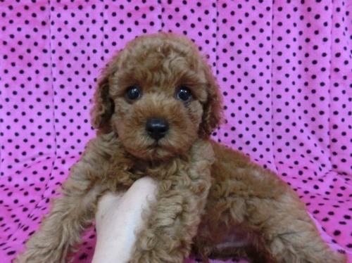 トイプードルの子犬(ID:1245311040)の3枚目の写真/更新日:2018-07-09