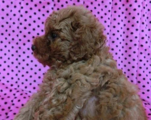 トイプードルの子犬(ID:1245311040)の4枚目の写真/更新日:2018-07-09