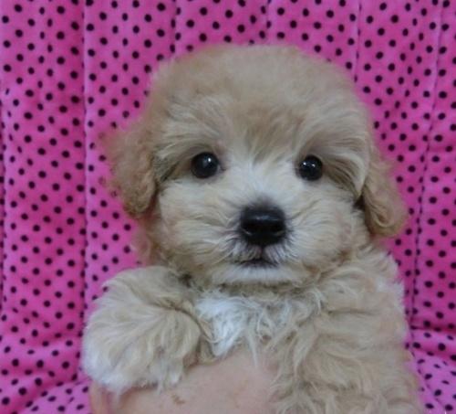 ミックスの子犬(ID:1245311042)の1枚目の写真/更新日:2018-08-06