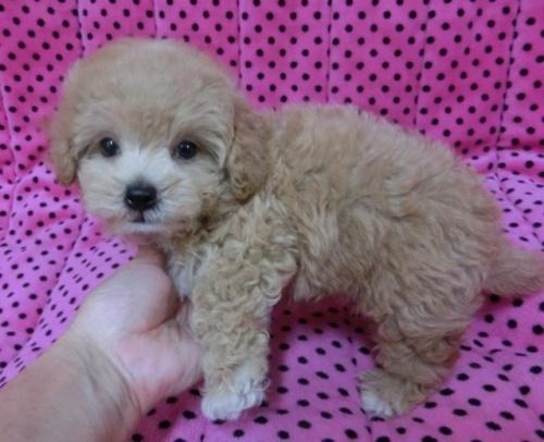 ミックスの子犬(ID:1245311042)の2枚目の写真/更新日:2018-08-06