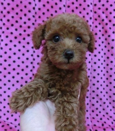 トイプードルの子犬(ID:1245311046)の1枚目の写真/更新日:2018-07-09