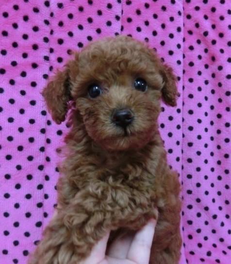 トイプードルの子犬(ID:1245311046)の2枚目の写真/更新日:2018-07-09