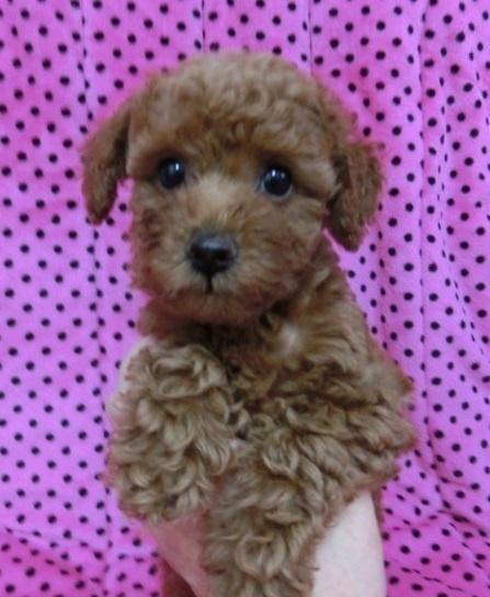 トイプードルの子犬(ID:1245311046)の3枚目の写真/更新日:2018-07-09