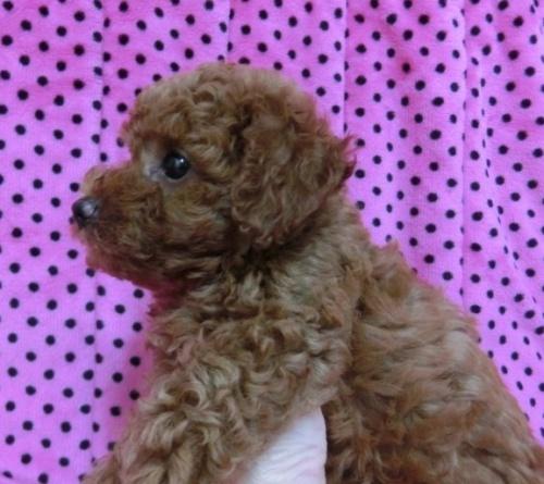 トイプードルの子犬(ID:1245311046)の4枚目の写真/更新日:2018-07-09