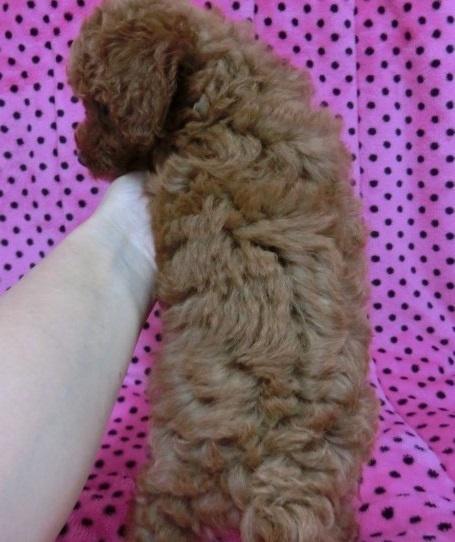 トイプードルの子犬(ID:1245311046)の5枚目の写真/更新日:2018-07-09