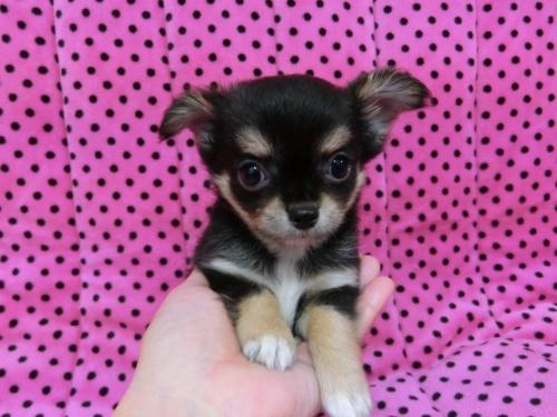 チワワ(ロング)の子犬(ID:1245311071)の1枚目の写真/更新日:2017-02-11