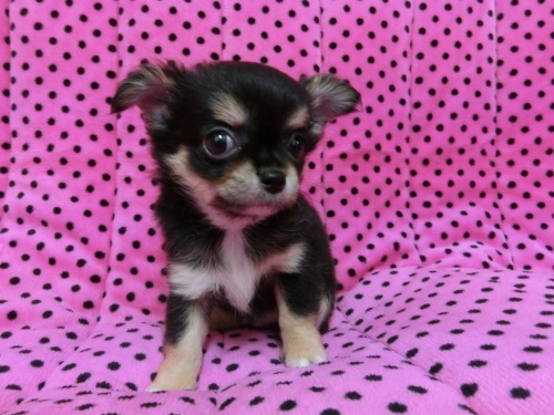 チワワ(ロング)の子犬(ID:1245311071)の4枚目の写真/更新日:2017-02-11