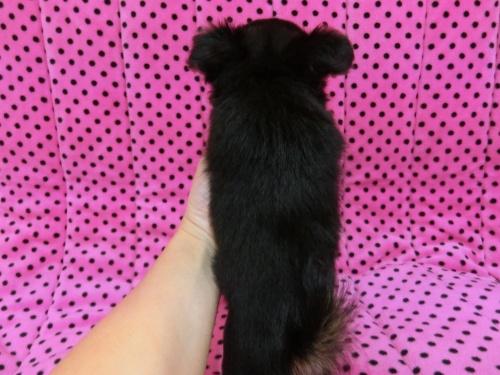 チワワ(ロング)の子犬(ID:1245311072)の5枚目の写真/更新日:2017-02-11