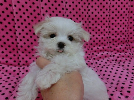 マルチーズの子犬(ID:1245311073)の2枚目の写真/更新日:2017-03-27
