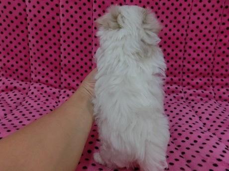 マルチーズの子犬(ID:1245311073)の3枚目の写真/更新日:2017-03-27