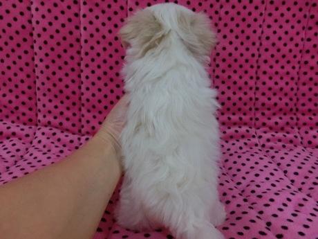 マルチーズの子犬(ID:1245311074)の2枚目の写真/更新日:2017-03-27