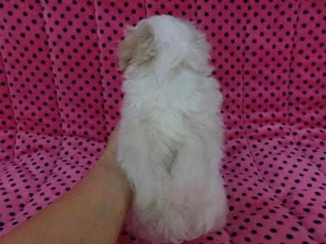 マルチーズの子犬(ID:1245311075)の2枚目の写真/更新日:2017-03-27