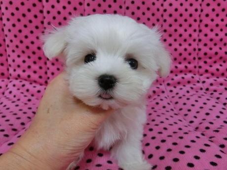 マルチーズの子犬(ID:1245311076)の1枚目の写真/更新日:2017-03-27