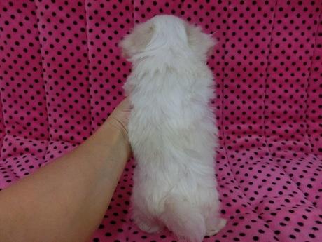 マルチーズの子犬(ID:1245311076)の2枚目の写真/更新日:2017-03-27