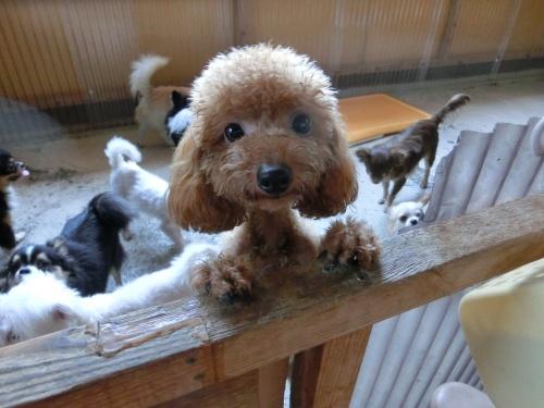 トイプードルの子犬(ID:1245311077)の1枚目の写真/更新日:2017-05-19