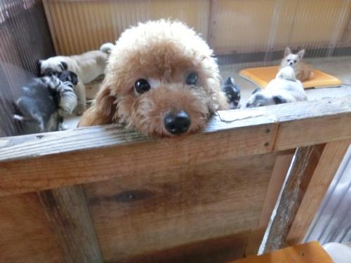 トイプードルの子犬(ID:1245311077)の3枚目の写真/更新日:2017-05-19