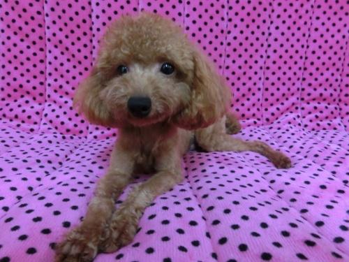 トイプードルの子犬(ID:1245311077)の4枚目の写真/更新日:2017-05-19