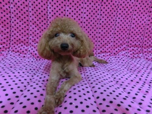 トイプードルの子犬(ID:1245311077)の5枚目の写真/更新日:2017-05-19